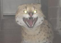 Reinrassiger Serval
