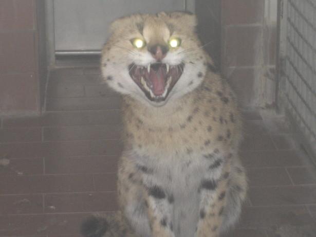 serval1-1