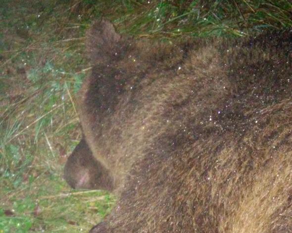 Der betäubte Bär KJ2
