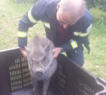 Eingefangenes Schwein