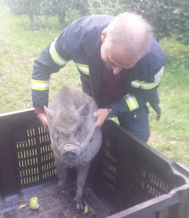 Dieses Hängebauchschwein spazierte in Moritzing umher (Foto: BF Bozen)