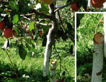 Der Apfel-Vandale