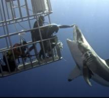 Der gestreichelte Hai