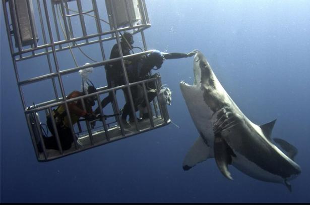 Der Weiße Hai und der Taucher (Foto: Dmitry Vasyanovich/Facebook)