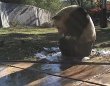 Badender Panda