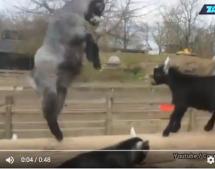 Der Ziegen-Kampf