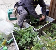 Der Marihuana-Keller