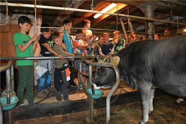Die Kuh im Stall als Attraktion
