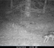 Wolfspaar gründet Rudel