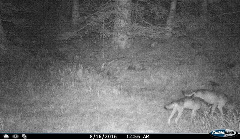 wolfs rudel wölfe