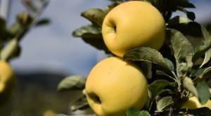 Die neue Apfelsorte