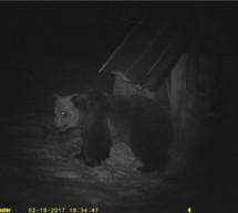 Bär attackiert fahrendes Auto