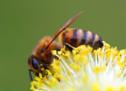 Das Bienen-Abkommen