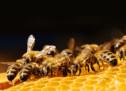 Bienensterben droht