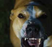 Pitbull bleibt im Tierheim