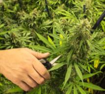 Ja zu Cannabis-Anbau