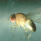 Fallen für Kirschessigfliegen