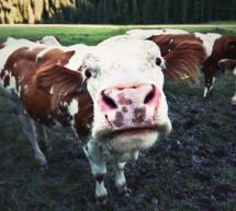 Tödliche Kuh-Attacke