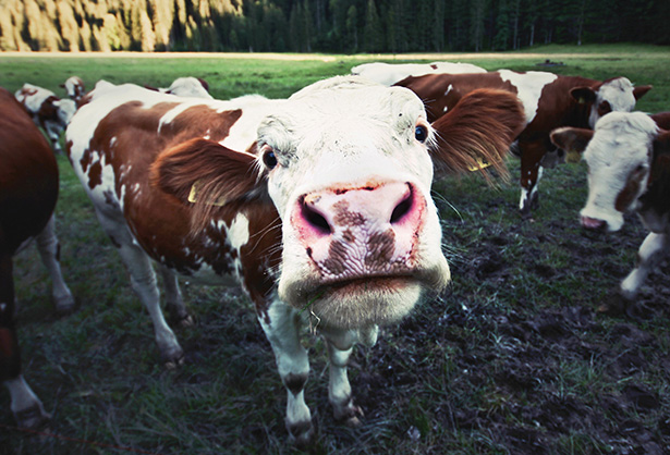 Kuh tötet Wanderin auf Tiroler Weide