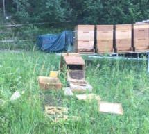 Bär plündert Bienenstock