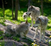 Der Wolf-Gipfel