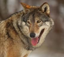 Ja zum Wolf-Gesetz