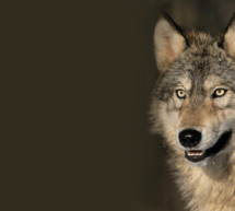 Minister will Wölfe schießen