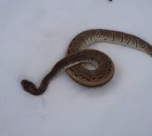 Wem gehört die Python?