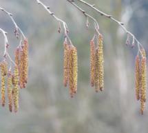 Die Pollen-Prognose