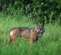 Wolf im Naturmuseum