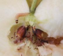 Der Apfelwickler