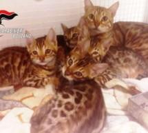 Bengalkatzen in Schlanders