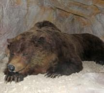 Auf den Spuren des prähistorischen Bären