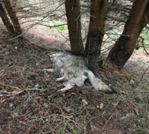 Toter Wolf in Tirol