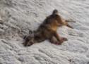 Der tote Wolf