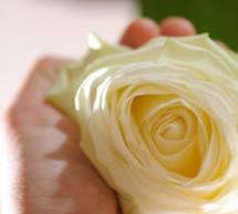 Hunderte weißer Rosen