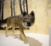 Die Wolfstation