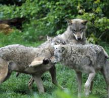 Mit Wolf und Bär leben