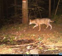 Das Wolf-Monitoring