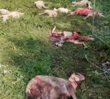 Wolf reißt Schafe in Eppan