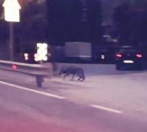 Kranker Wolf